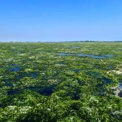 13 giugno 2013 - Le alghe sono già in superificie, particolare - Zampedri
