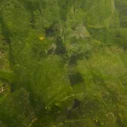 26 maggio 2013 - Le alghe al massimo dello sviluppo - Barzizza