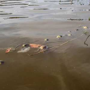 21 luglio 2013 - Granchi e medusa morti galleggianti - Zampedri
