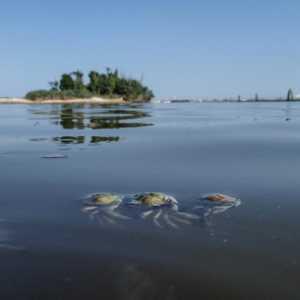 21 luglio 2013 - Granchi morti galleggianti - Zampedri