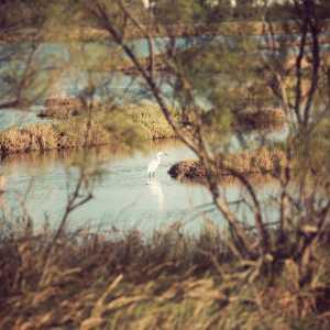 A white heron (Bazzmann Archive / Venipedia)